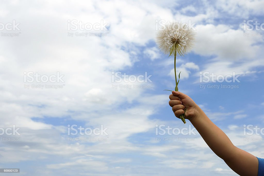 large blowball in child hand royalty-free stock photo