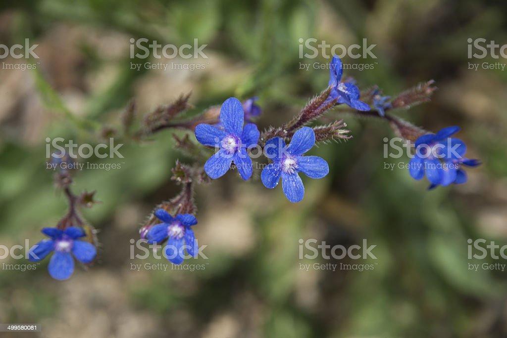 Large Blue Alkanet royalty-free stock photo
