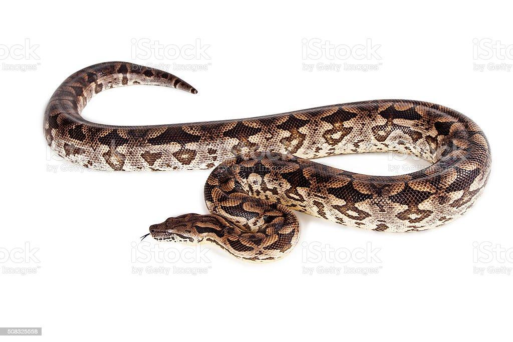 Large Boa Snake - Isolated on white stock photo