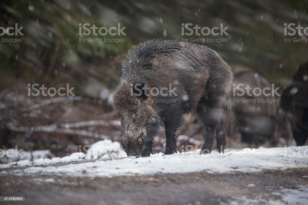 Large boar stock photo