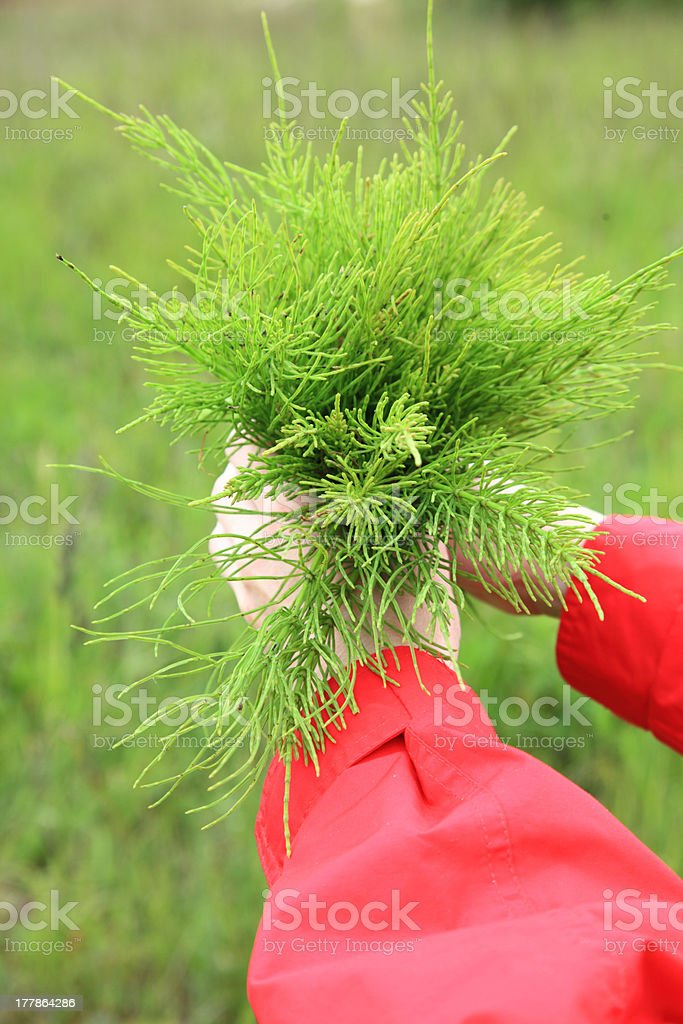 Large bouquet from the field medicinal horsetail royalty-free stock photo