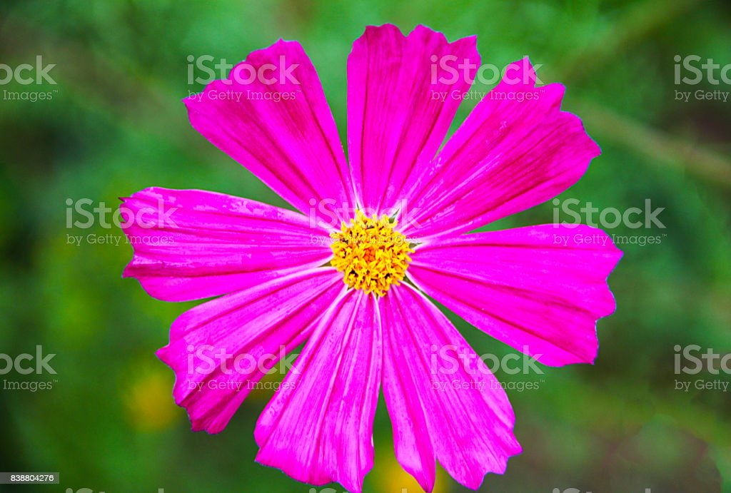A large bright-colored Cosmey (cosmos, space) flower with eight petals and a yellow core on blurred green background. Photo taken close-up, macro. stock photo