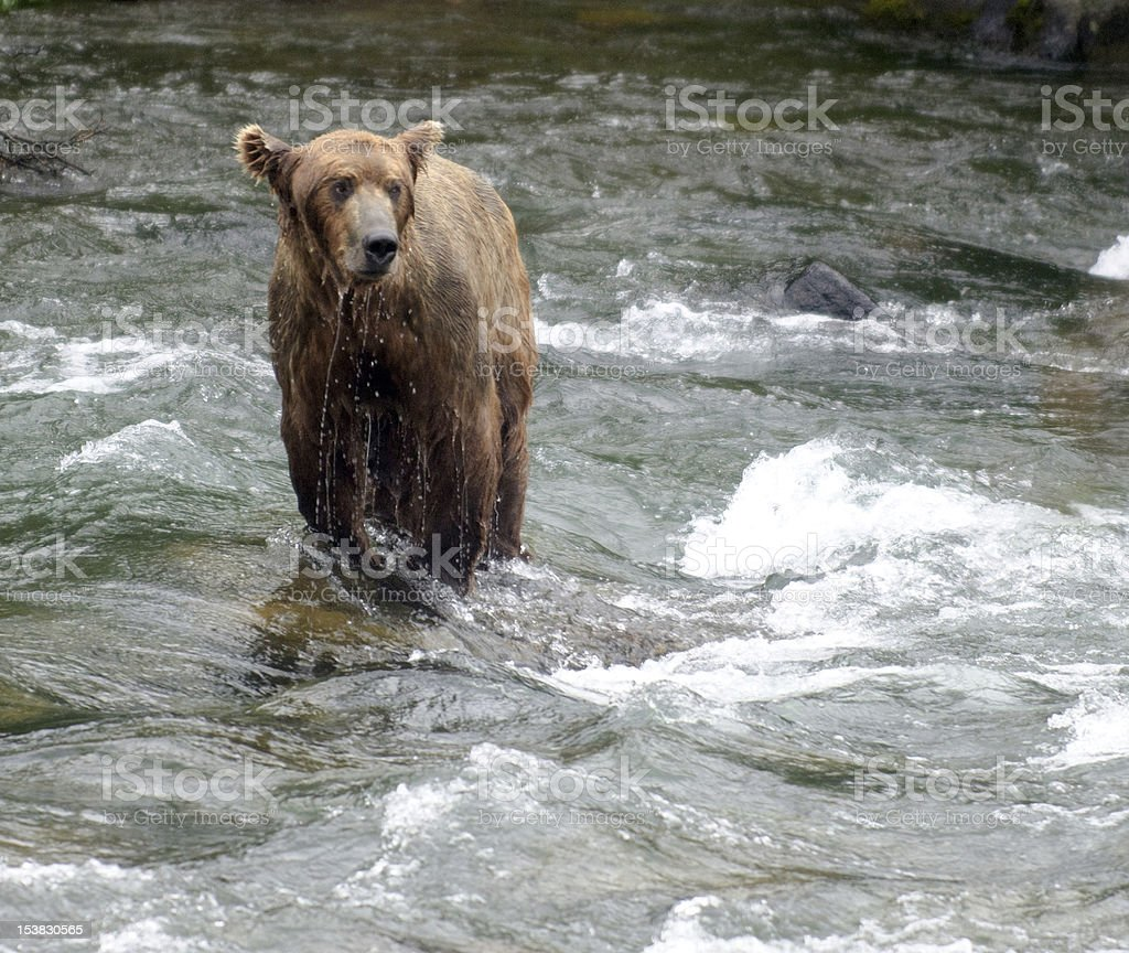 Large Brown Bear fishing for salmon in a river royalty-free stock photo
