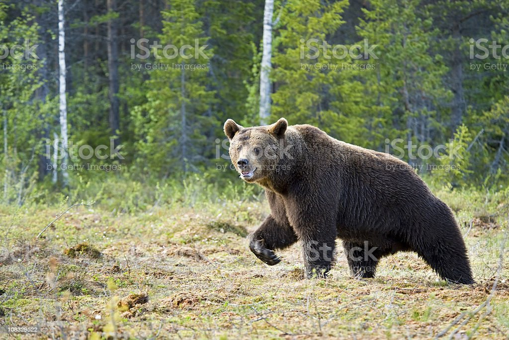 Large Brown Bear is running in a swamp, wildlife-shot royalty-free stock photo