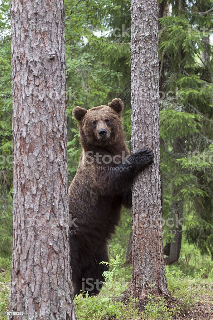 Large brown bear standing on its hind legs against a tree stock photo