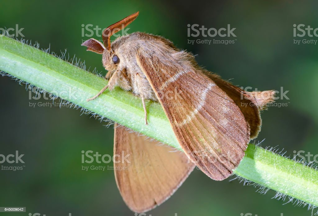 Large brown butterfly macrothylacia rubi stock photo