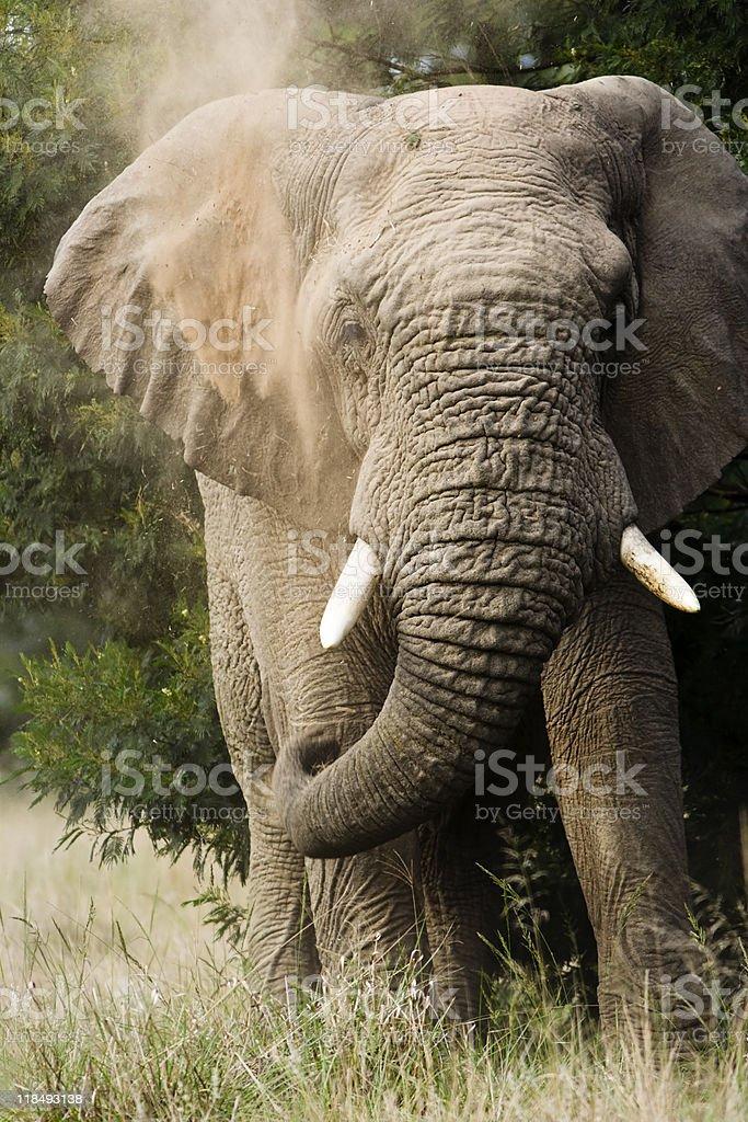 Large bull elephant dust-bathing stock photo