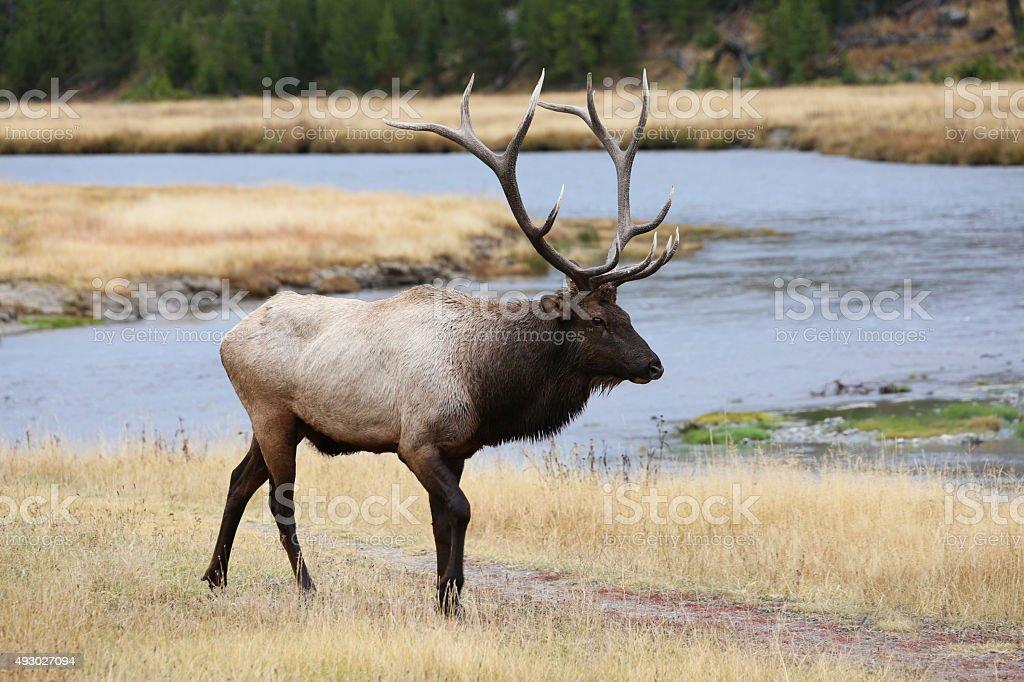 Large Bull Elk at Yellowstone River stock photo