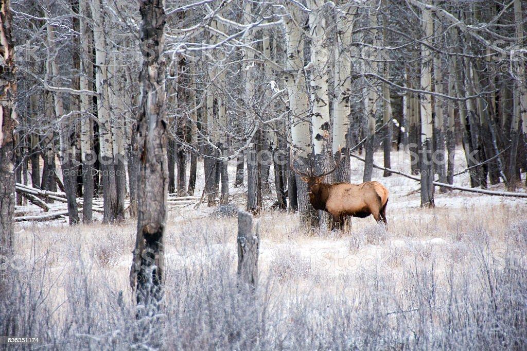 Large bull elk cut from herd,  aspen forest, Banff, winter stock photo
