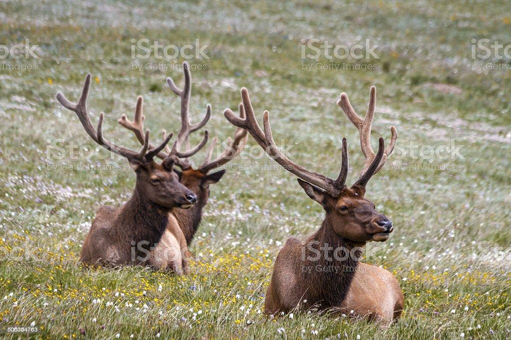 Large Bull Elk in Mountain Meadow stock photo