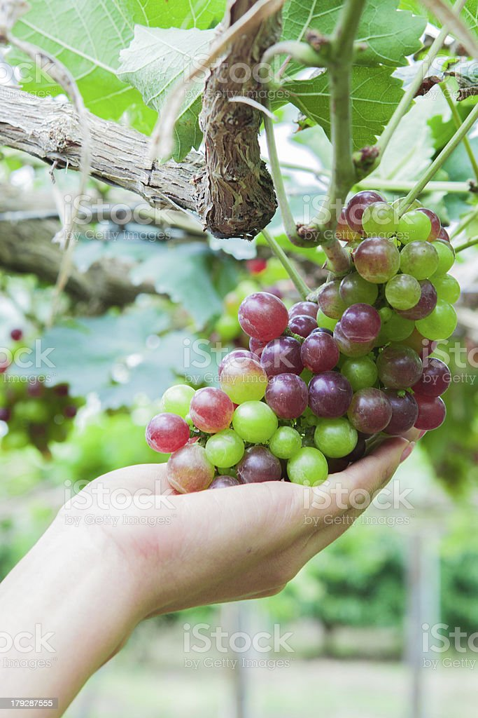 Large bunch of grapes royalty-free stock photo