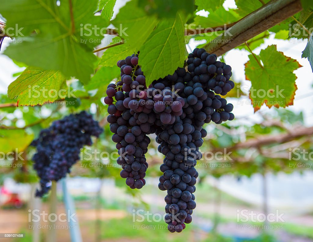Large bunch of red wine grapes with green leave stock photo