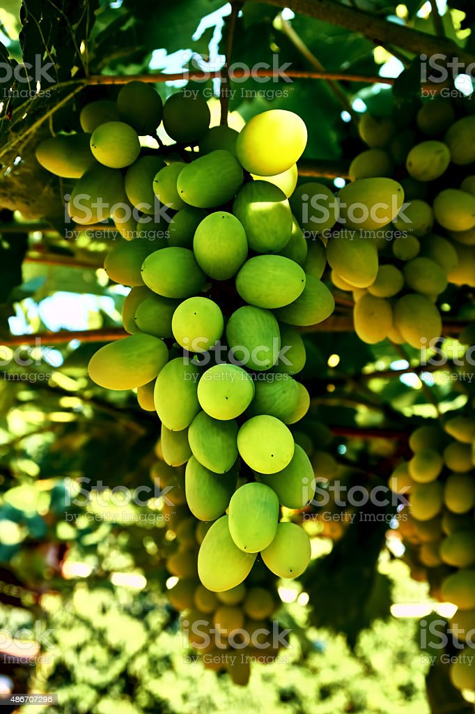 large bunch of white grapes royalty-free stock photo