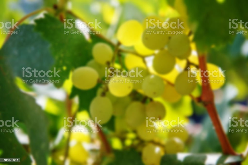 Large bunch of white wine grapes. Winemaking stock photo