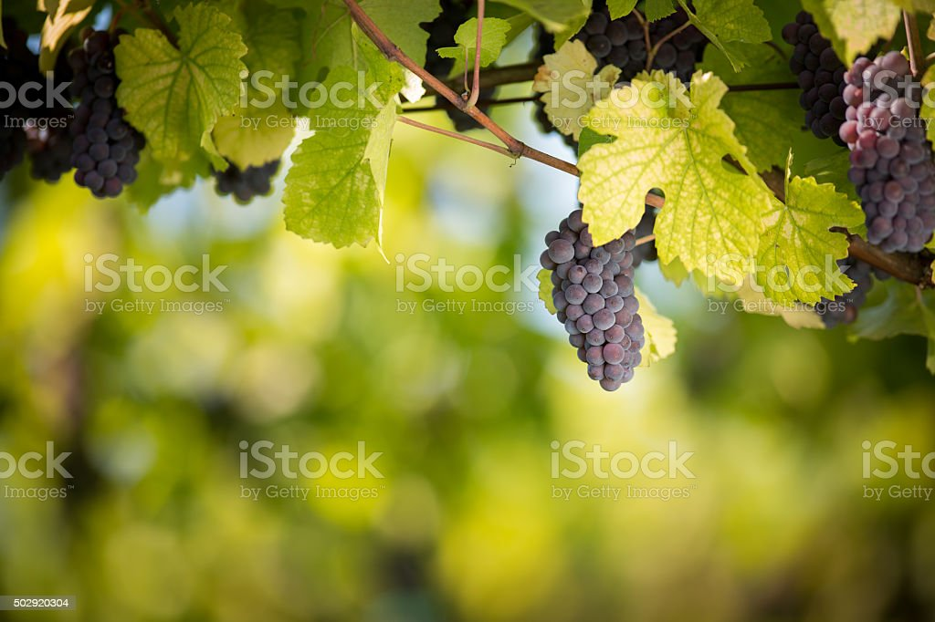 Large bunches of red wine grapes stock photo