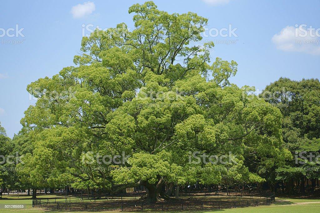 Large camphor tree of Nara Park stock photo
