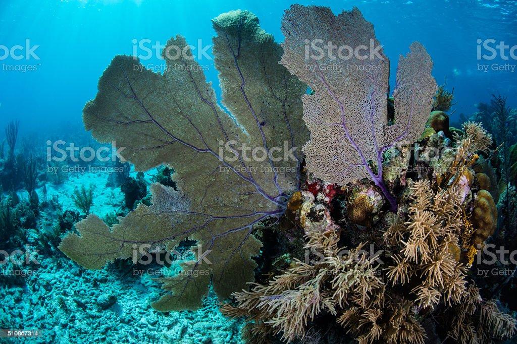 Large Caribbean Gorgonians stock photo
