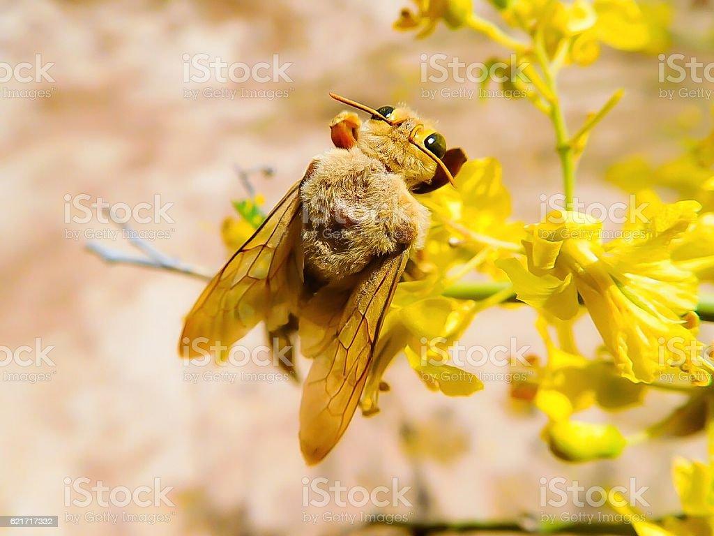 Large Carpenter Bee stock photo