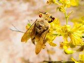 Large Carpenter Bee