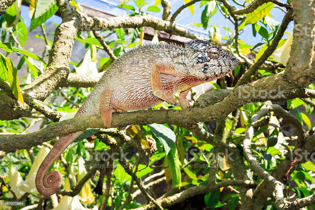 Large chameleon in a tree stock photo