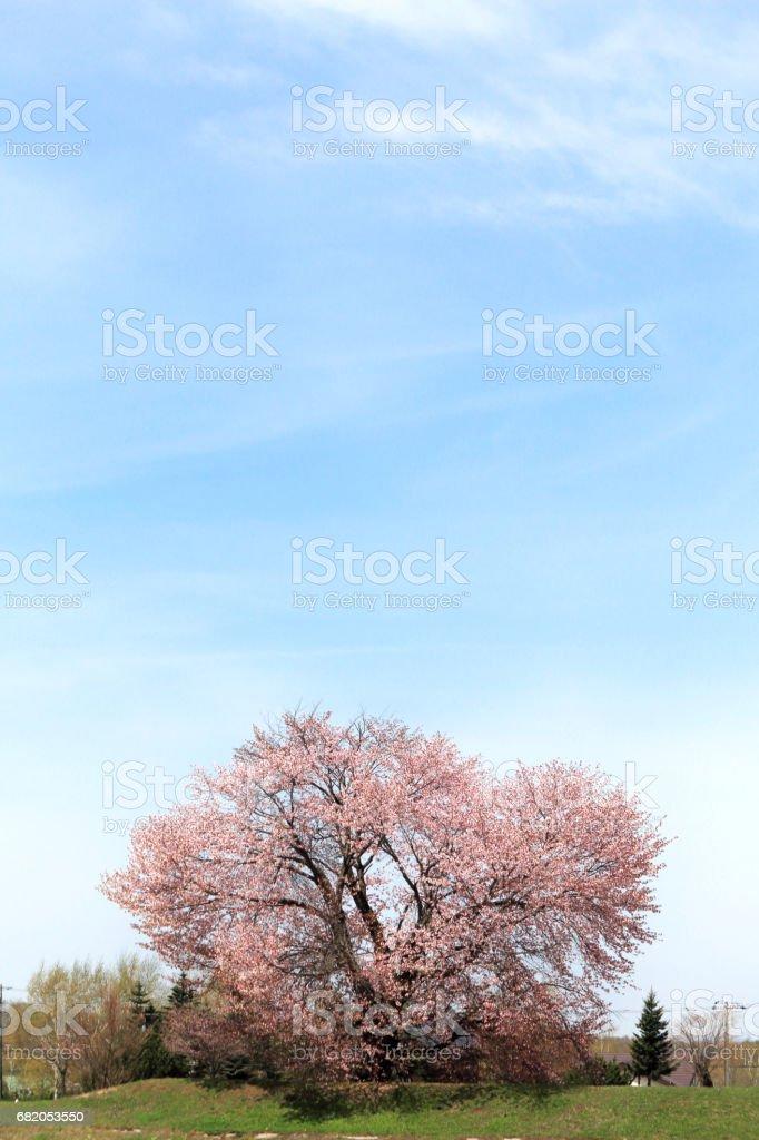Large cherry tree stock photo