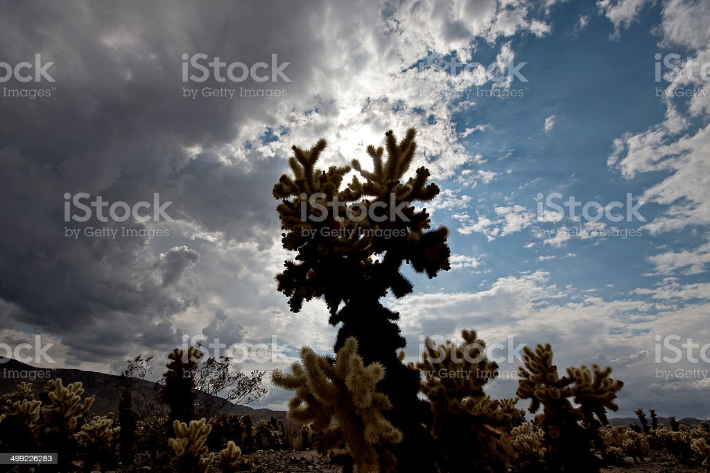 Large cholla in beautiful cloudscape, Joshua Tree National Park stock photo