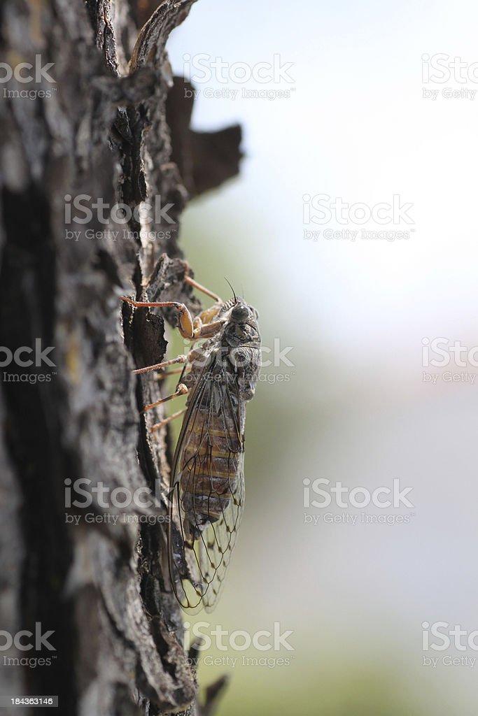 large cicada image stock photo