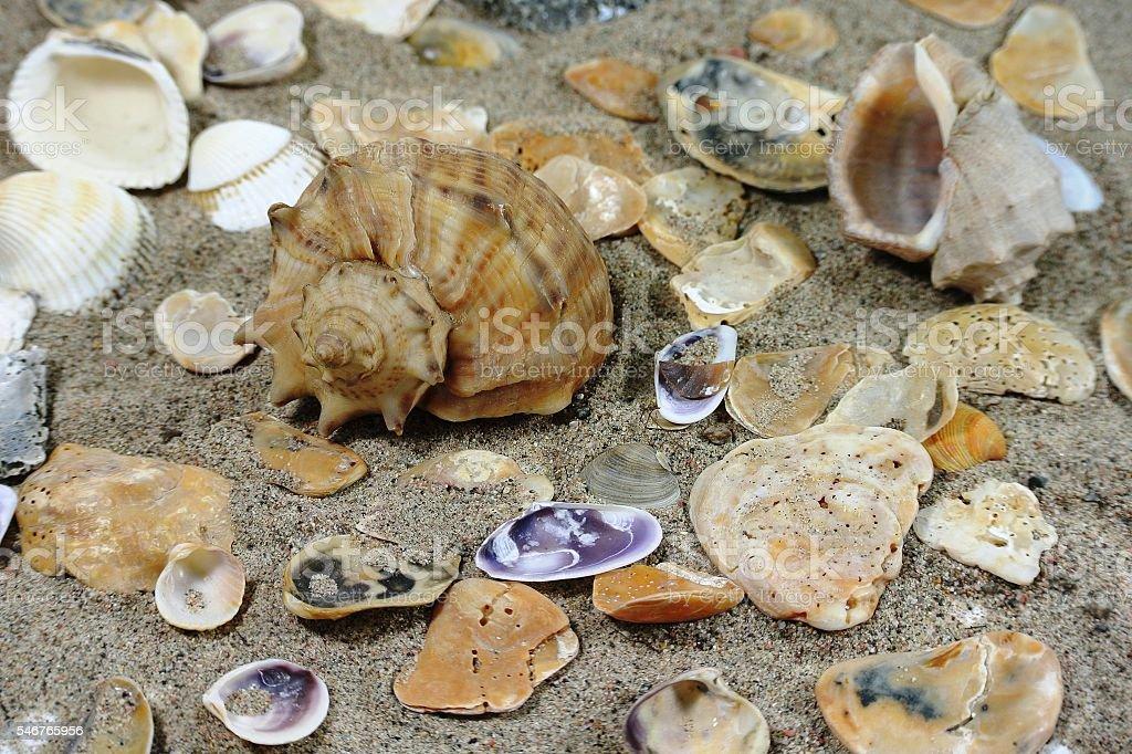 Large clamshell Rapana stock photo