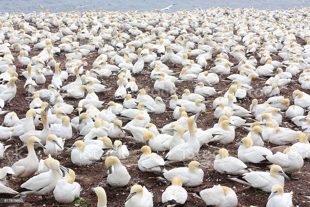 Large colony of northern gannets in Bonaventure Island (Quebec) stock photo