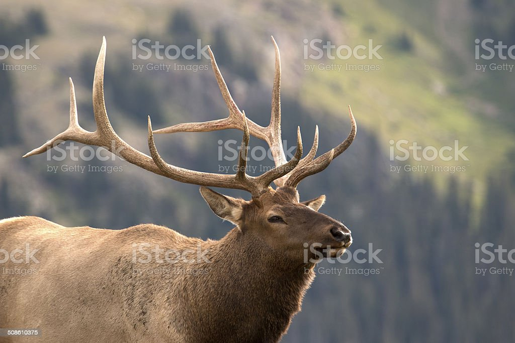 Large Colorado bull elk copy space stock photo
