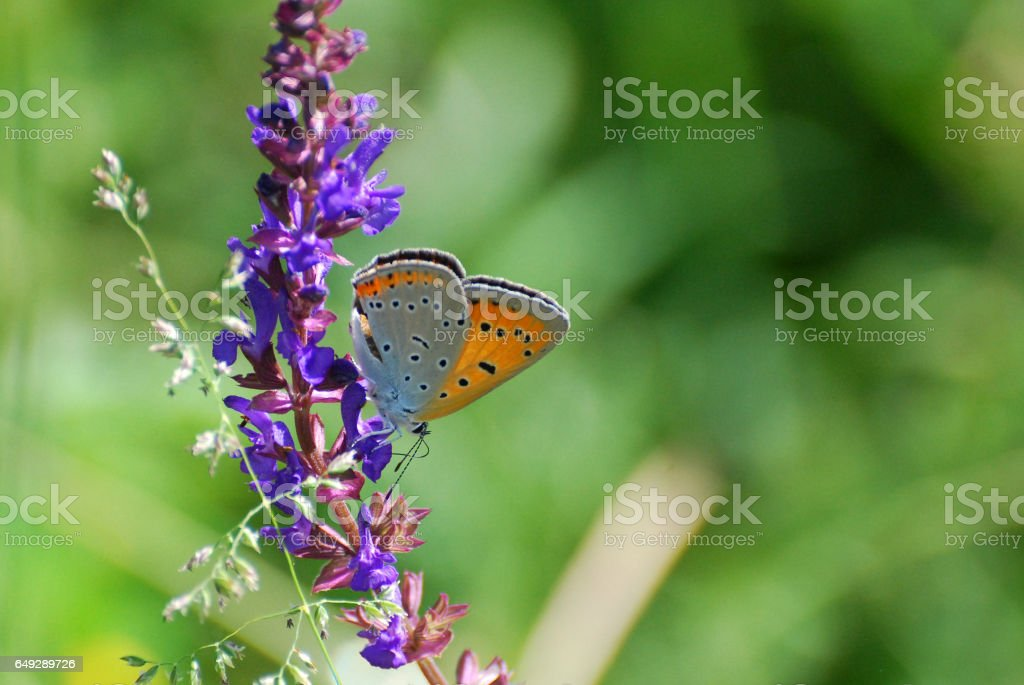 Large copper butterfly stock photo