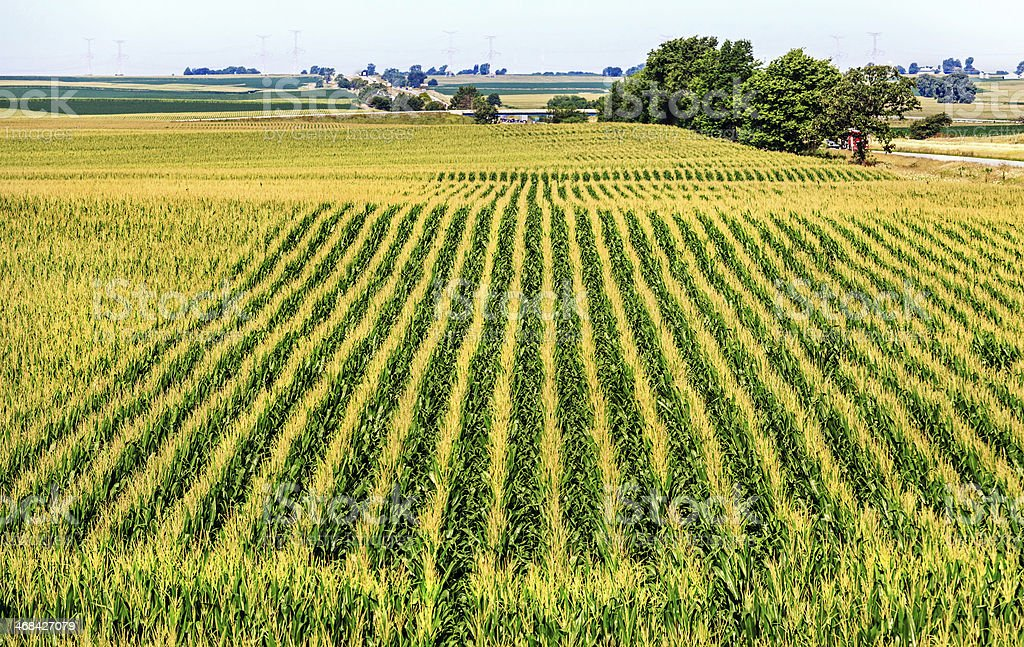 Large corn field growing in Central Illinois stock photo