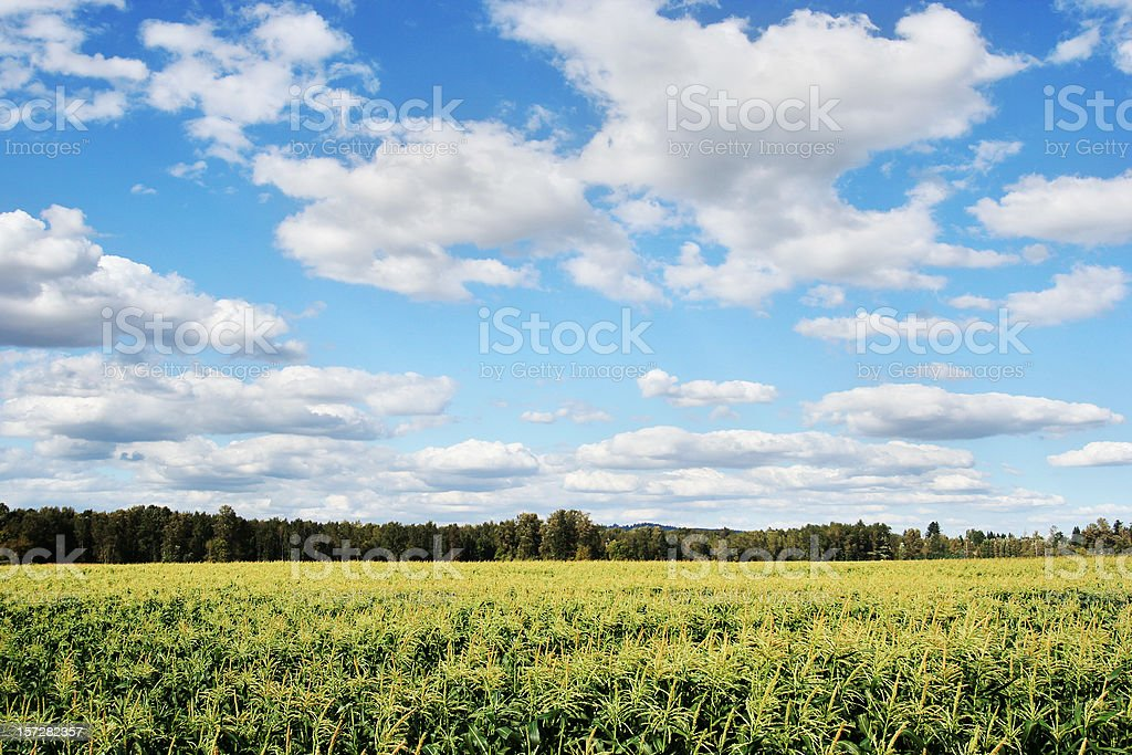 Large Corn Field with Blue Sky and Forest royalty-free stock photo