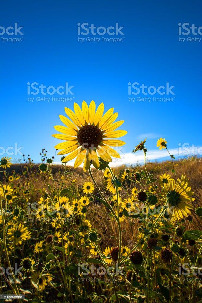 Large daisy flower field against blue sky stock photo