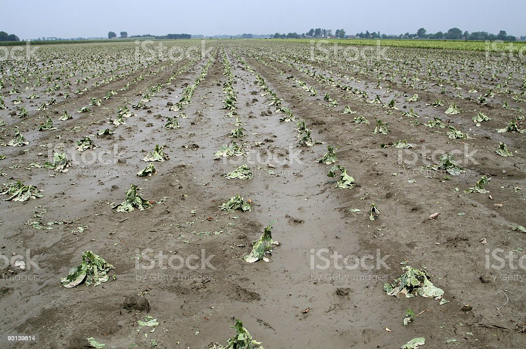 Large, damaged cabbage crop looking muddy and sad royalty-free stock photo