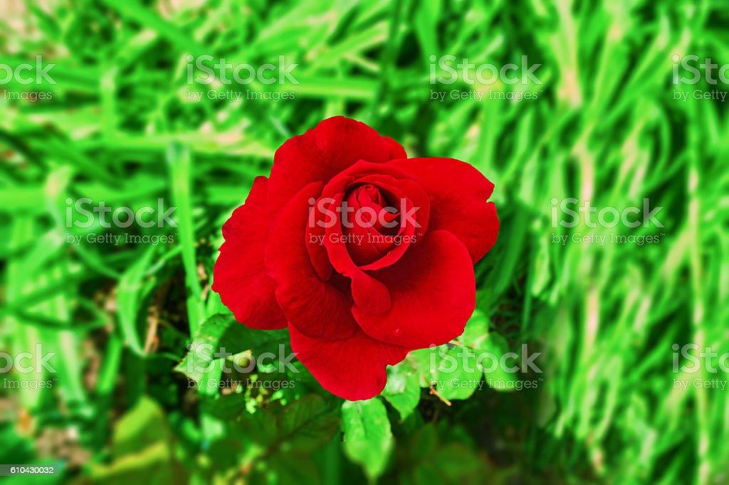 large dark red rose royalty-free stock photo