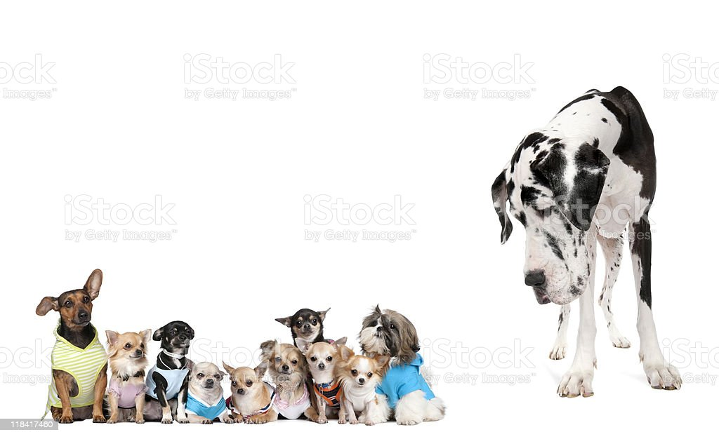 Large dog looking at small puppies against white background royalty-free stock photo