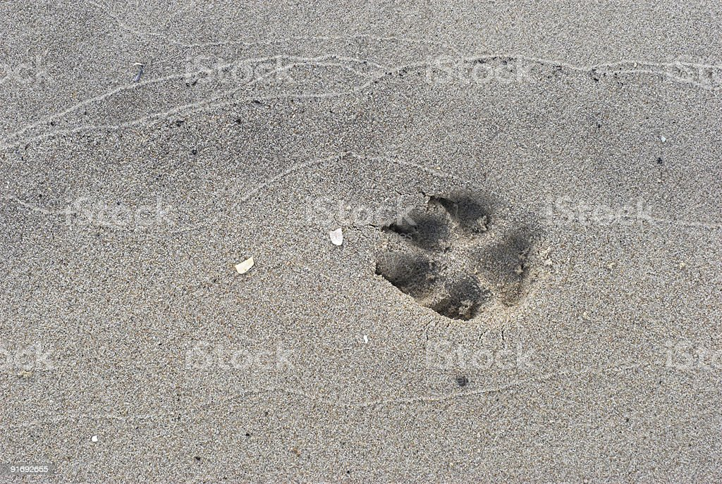 Large dog print in the sand royalty-free stock photo