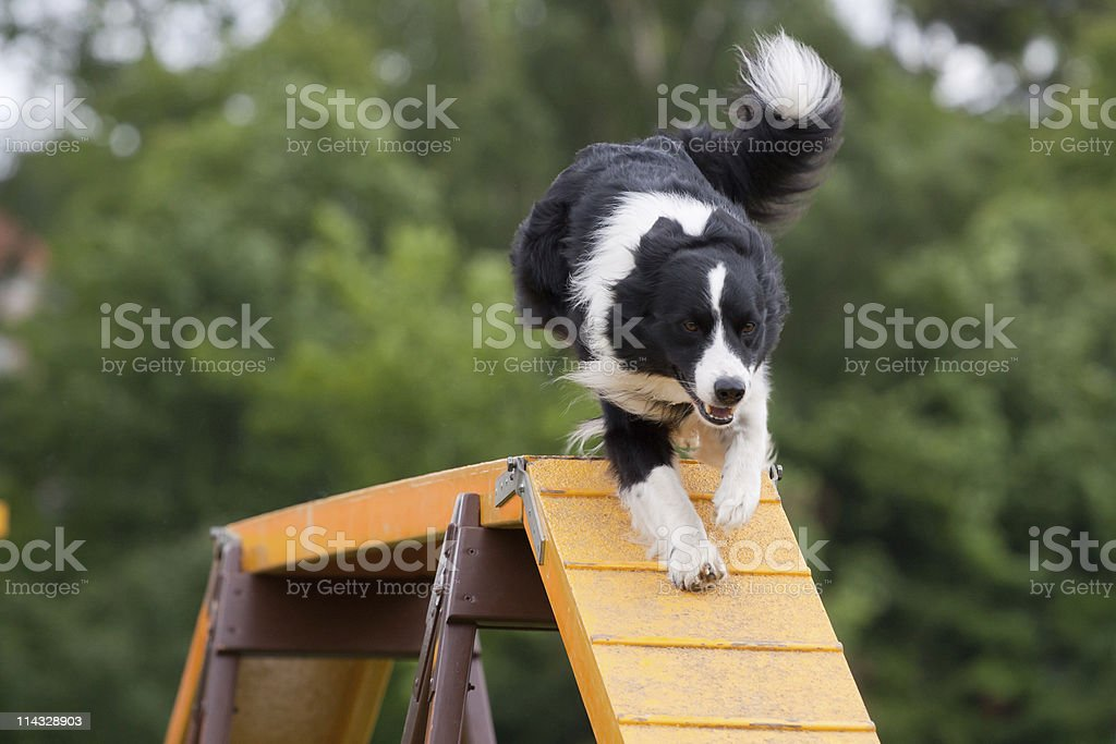 Large dog running down bridge in agility competition stock photo