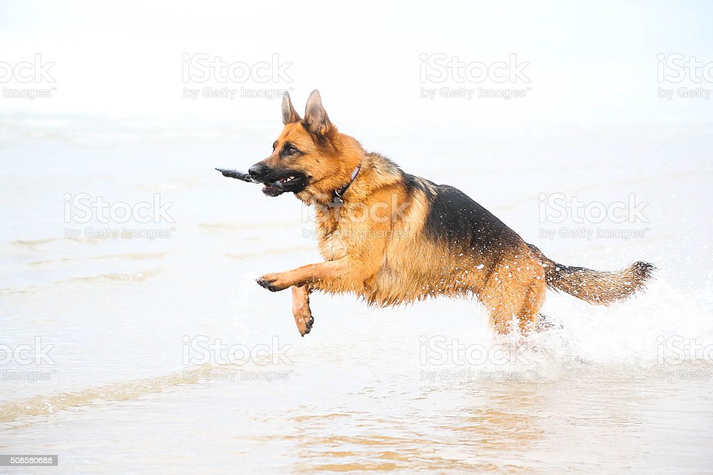 large dog running through sea stock photo
