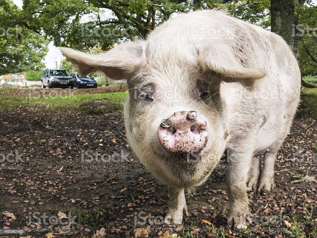 Large domestic Pig in the New Forest stock photo