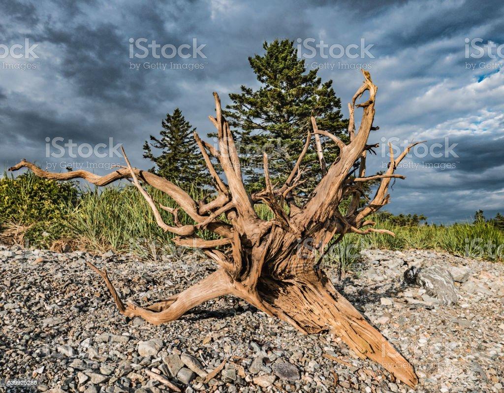 Large Driftwood Burl on Seawall Beach, Acadia National Park stock photo