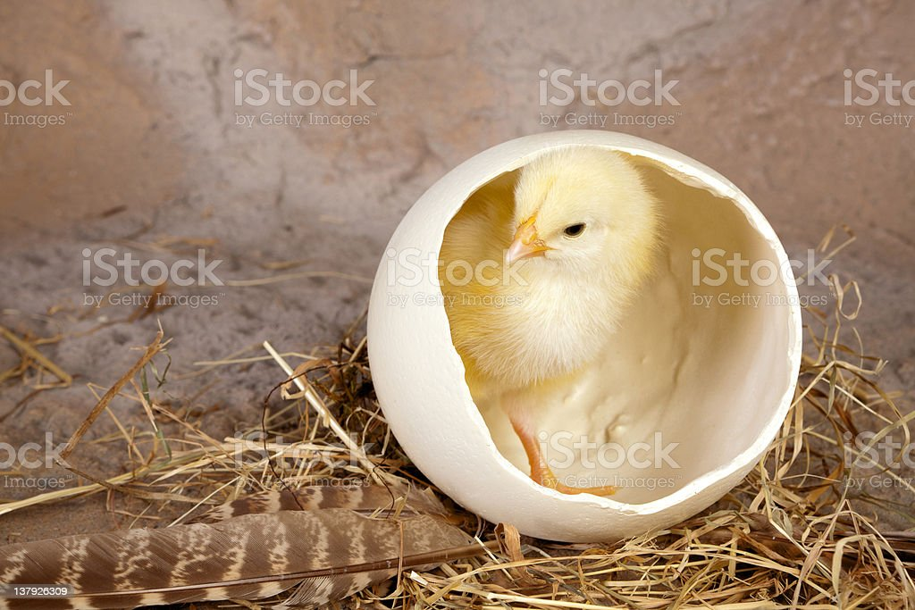 Large egg small yellow chick royalty-free stock photo