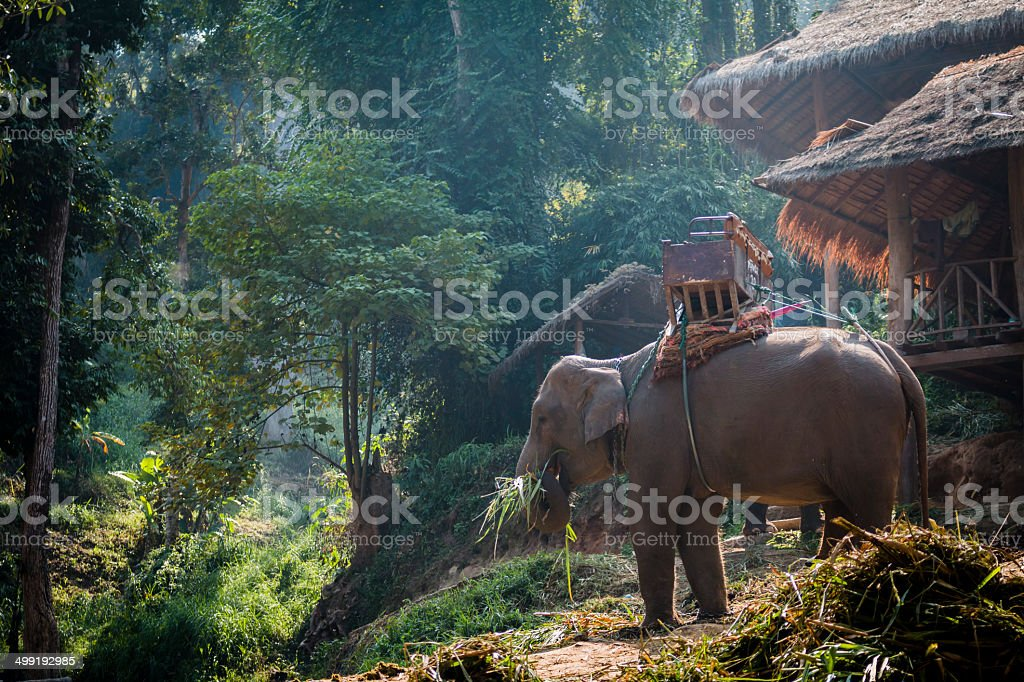 Large elephant eating grass near the cottage stock photo