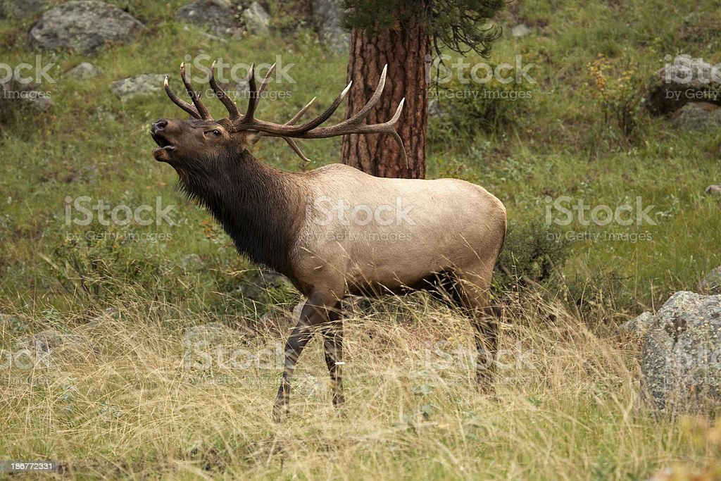 Large elk bugling in Colorado mountains royalty-free stock photo