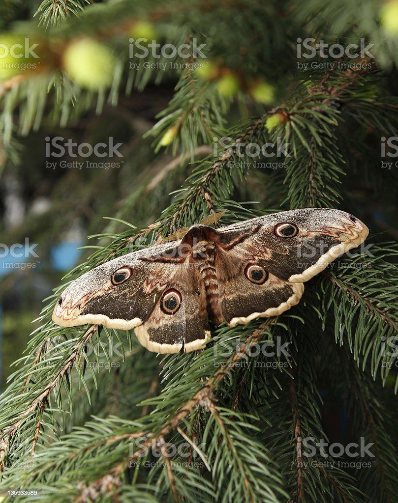 large emperor moth stock photo