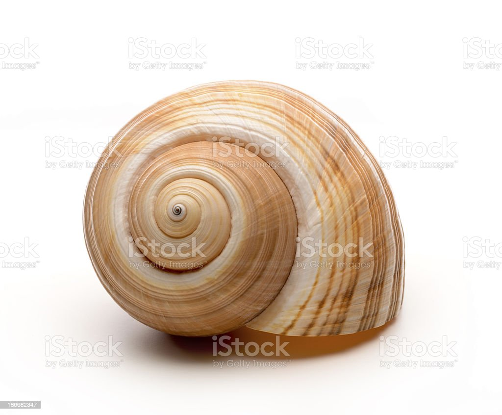 Large empty ocean snail shell on white background stock photo