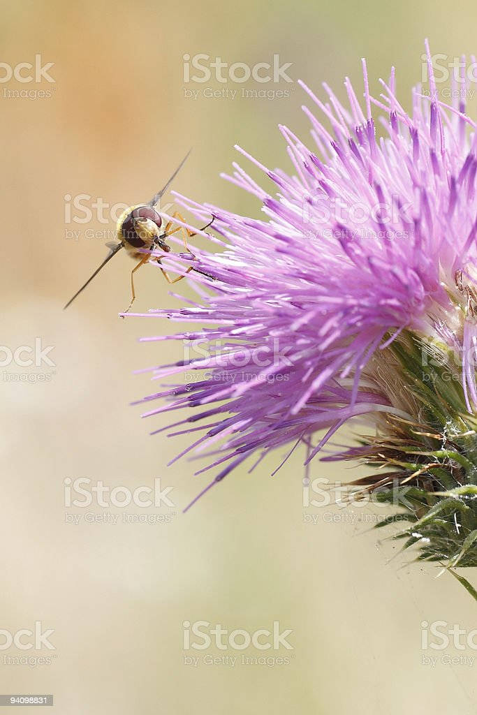 large eyes of fly on a purple thistel bloom stock photo