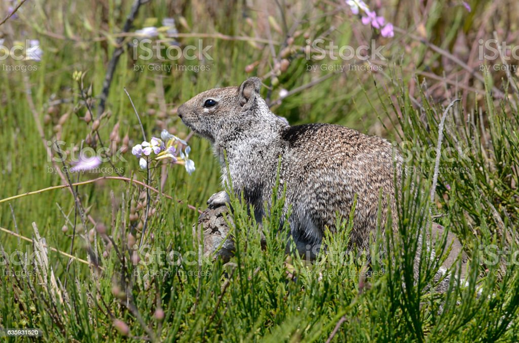 Large fat ground squirrel stock photo