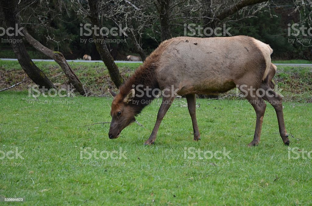 Large Female Elk Grazing royalty-free stock photo